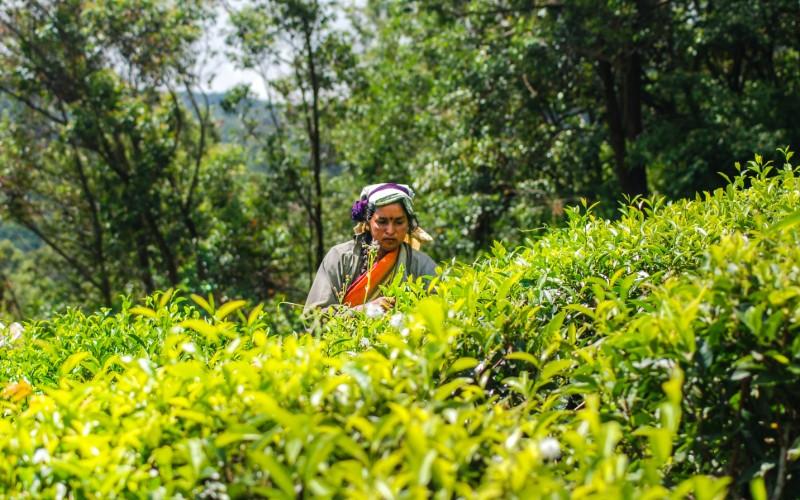 Jour 7 : Kandy – Ramboda – Nuwara Eliya